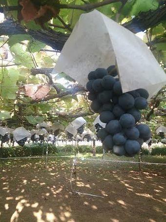 山梨県のブドウ
