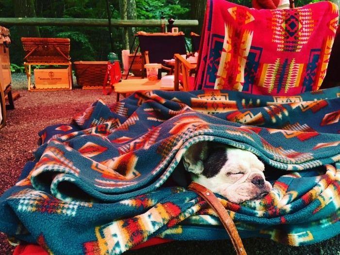 コーディネートされたテントサイトとブランケットに包まる犬