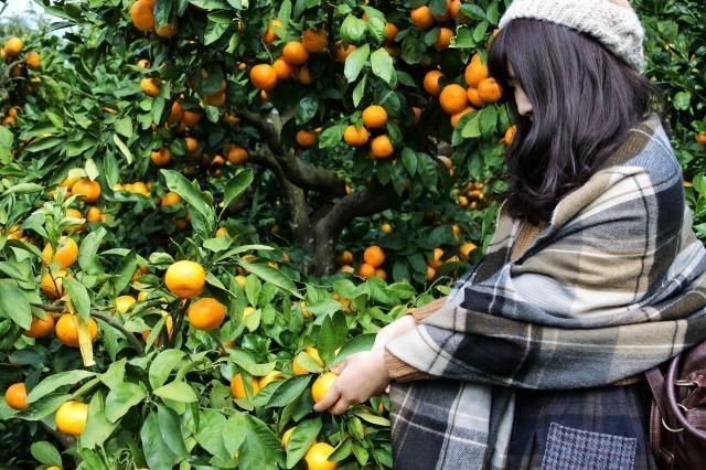 千葉県南房総市、みかん農園「三平まさのぶ農園」でミカン狩りをする女性
