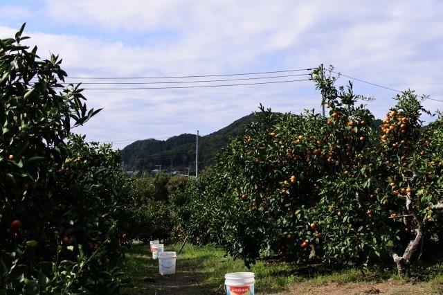 千葉県南房総市、みかん農園「三平まさのぶ農園」のみかん