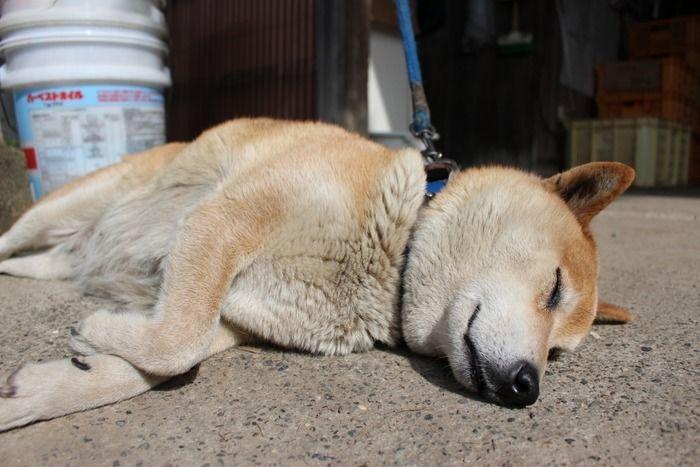 千葉県南房総市、みかん農園「三平まさのぶ農園」の看板犬
