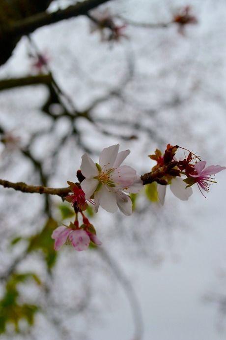 宝登山に花開く寒桜
