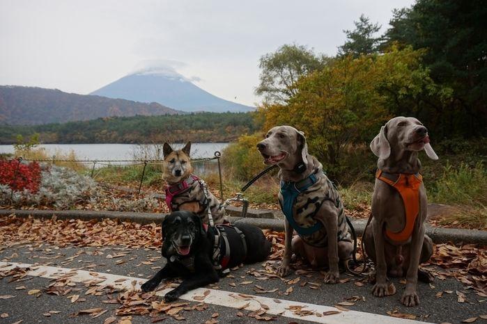 富士山をバックに道路上に座る犬たち