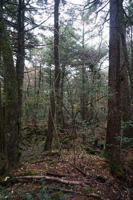青木ヶ原樹海の木々