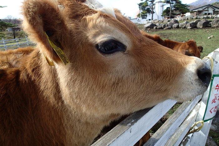 清里高原の牛