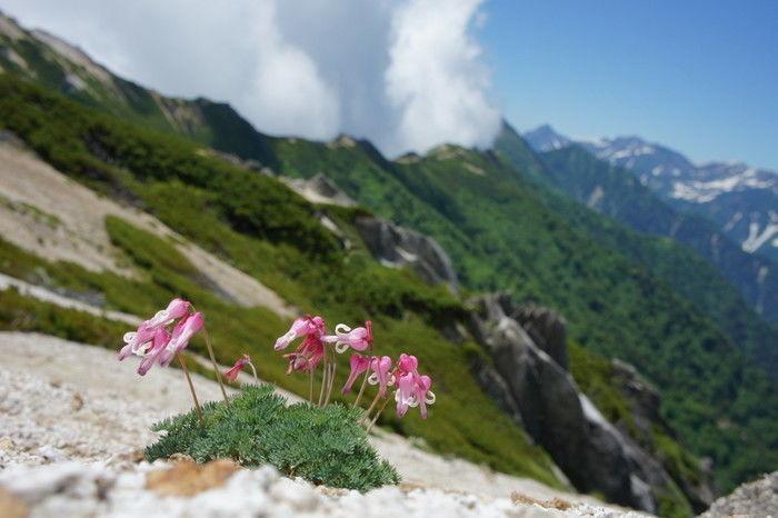 北横岳に咲くコマクサ