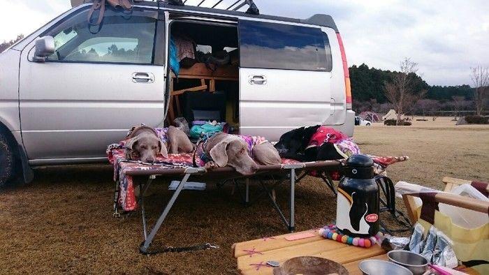 やまぼうしオートキャンプ場はで車をよおず消したコットで寝る犬たち