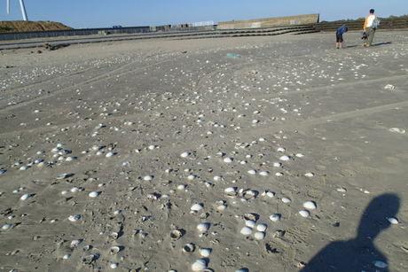 日川浜キャンプ場近くのビーチの貝殻