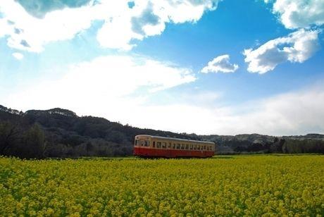 菜の花畑を走る一両の電車