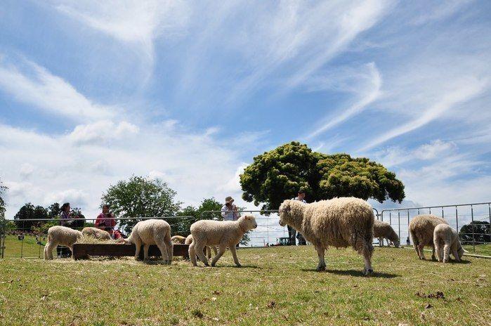 マザー牧場の羊たち