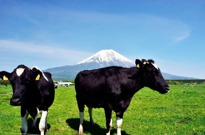 富士山の麓で飼育されている牛
