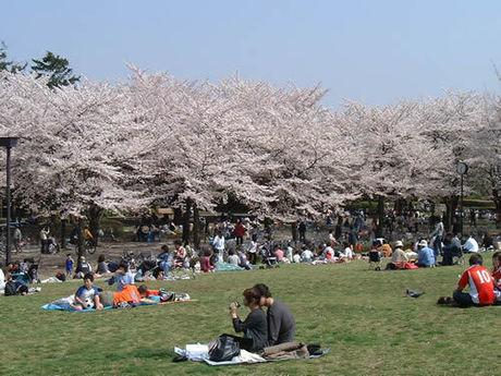 府中の森公園の桜とお花見をする人々の様子