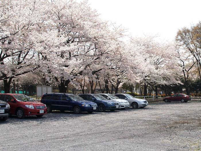 赤塚公園の桜