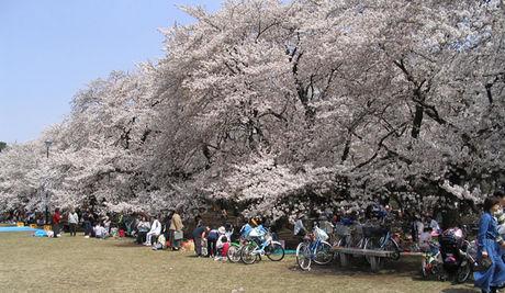 小金井公園の桜とお花見をする人々の様子