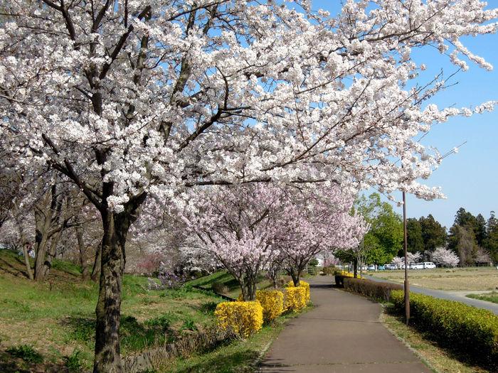 桜リバーサイドパークの桜