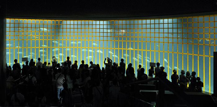 黄色いテープのはられたマグロの水槽を見る人々