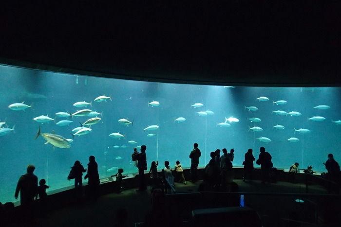 葛西臨海水族園の水槽で泳ぐマグロ