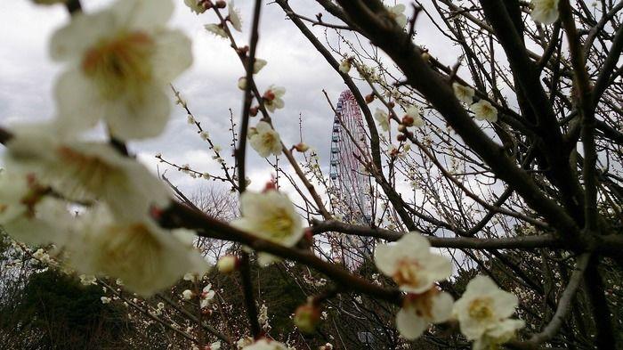 梅と葛飾臨海公園の観覧車