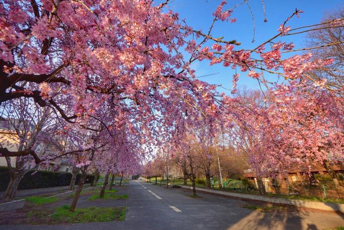 小金井公園の桜並木
