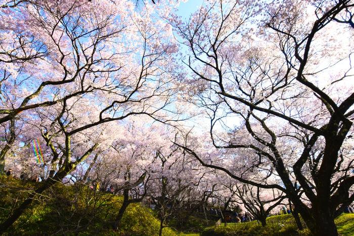 上野公園のに咲く桜の木
