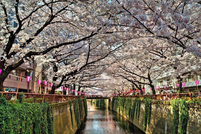 桜並木の間を流れる目黒川
