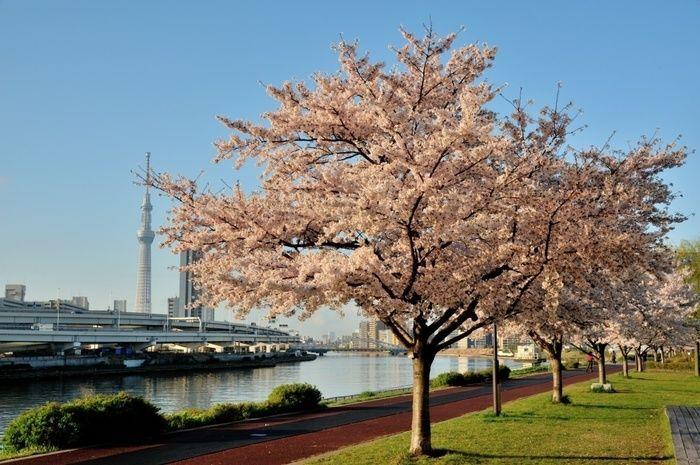 隅田公園の桜と隅田川