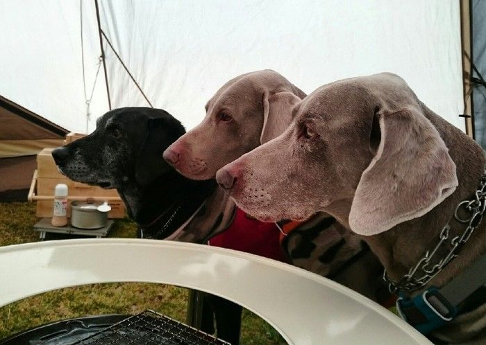 キャンプを楽しむ犬たち