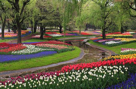 国営昭和記念公園に咲くチューリップ