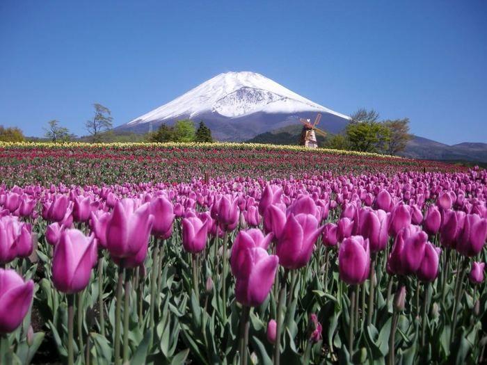 遊園地ぐりんぱに咲くピンクのチューリップ