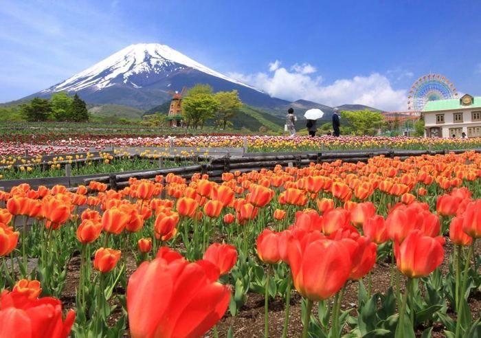 遊園地ぐりんぱに咲く赤いチューリップ