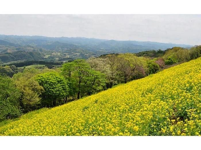 マザー牧場の菜の花畑