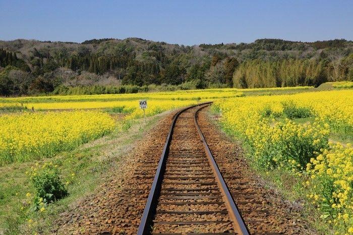 小湊鉄道から見える菜の花畑