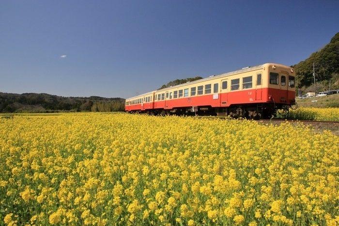 菜の花畑の中を走る小湊鉄道