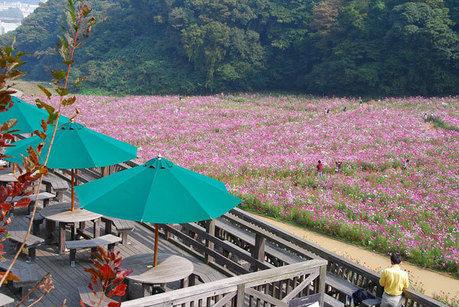 くりはま花の国に咲くコスモス