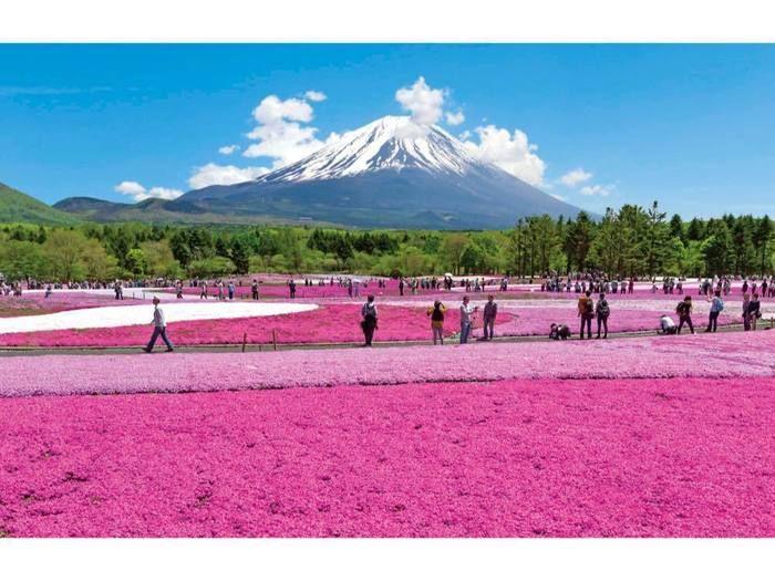 富士本栖湖リゾートの富士芝桜祭りの様子