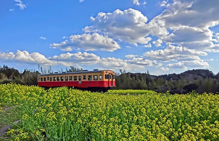 満開の菜の花とローカル電車