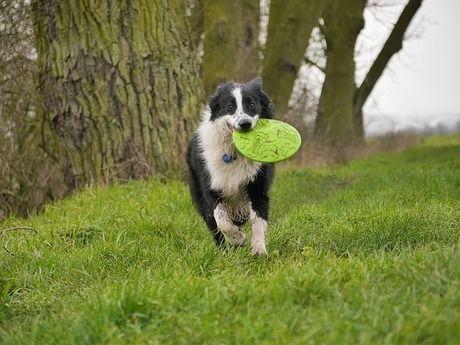 犬がフリスビーを咥えて走る様子
