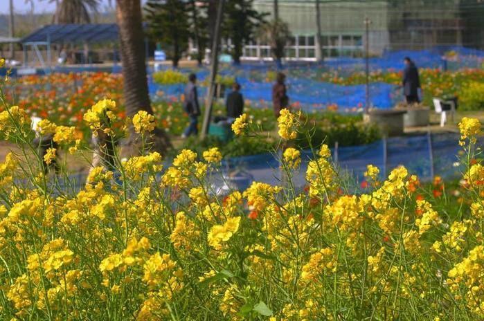 【千葉県】白浜フラワーパークの菜の花畑