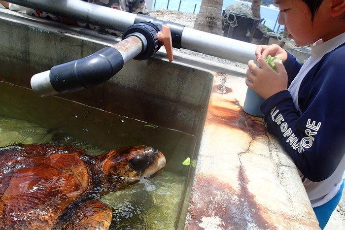 小笠原海洋センターで亀に餌をあげる男の子