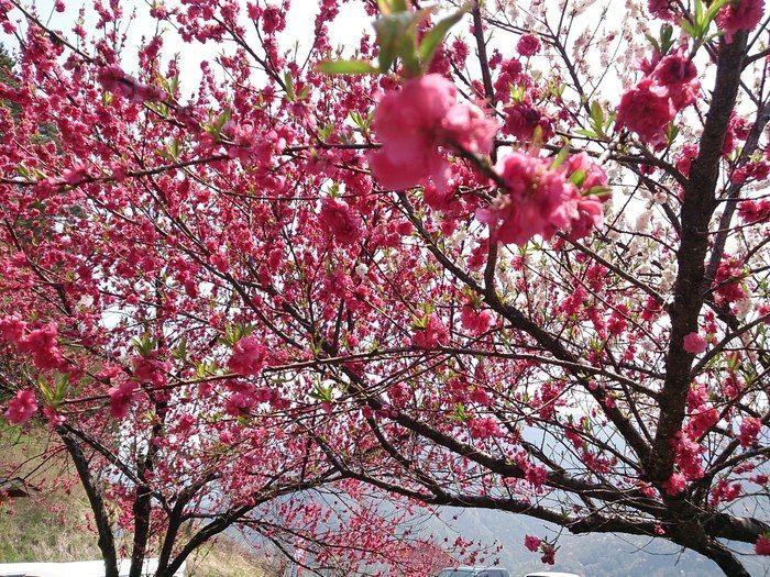 南アルプスの山桜