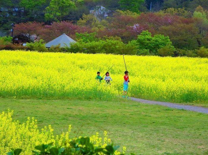 巾着田の菜の花畑で遊ぶ子供達