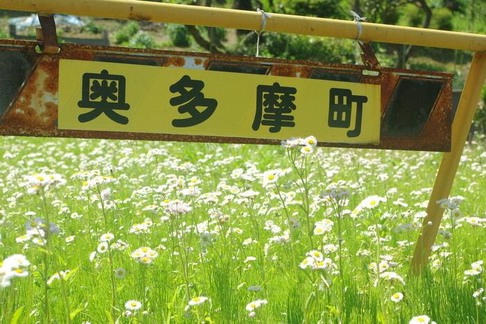 奥多摩の花畑