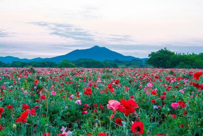 筑波山に広がる花畑