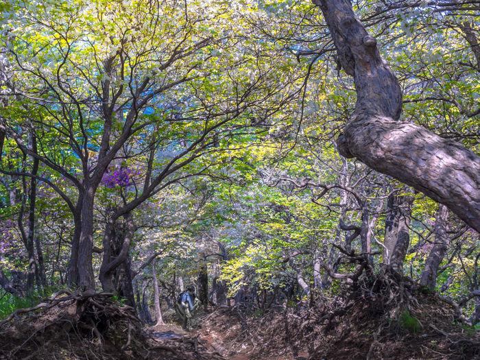 木々が絡まった丹沢山の山道