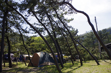 松林サイトに設置されたテント