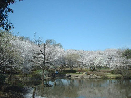 智光山公園キャンプ場の桜と池