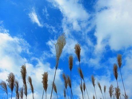 青空を背景に撮影された曽爾高原のすすき
