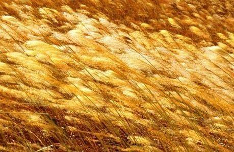 曽爾高原の黄金色になったススキ