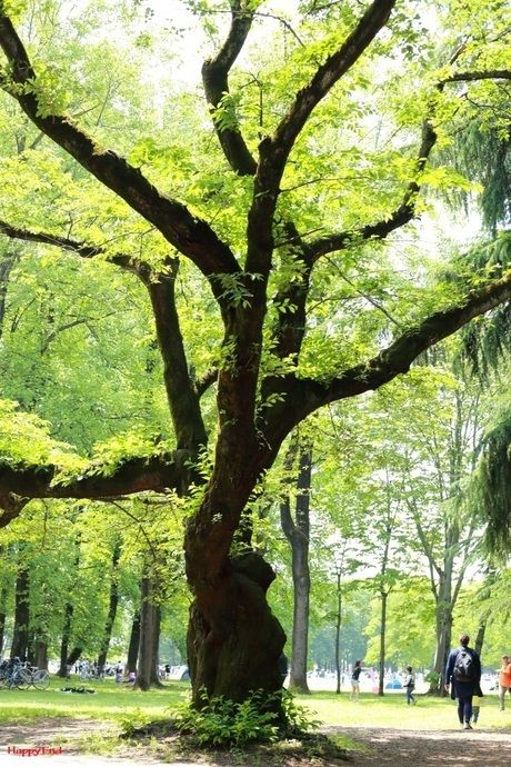 小金井公園の大木