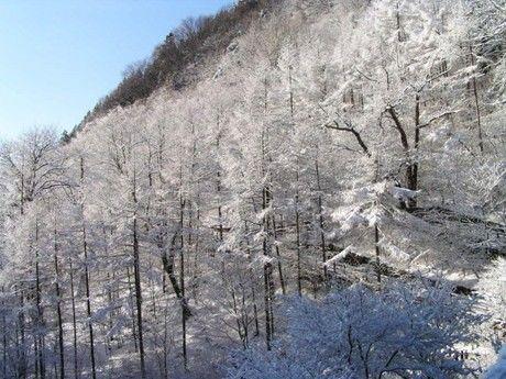 檜原都民の森の雪景色の森林